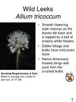 wild leeks allium tricoccum
