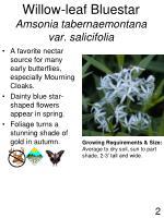 willow leaf bluestar amsonia tabernaemontana var salicifolia