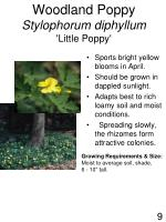 woodland poppy stylophorum diphyllum little poppy