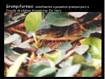 grampiformes semelhantes a pequenos grampos para a fixa o de plantas trepadeiras ex hera