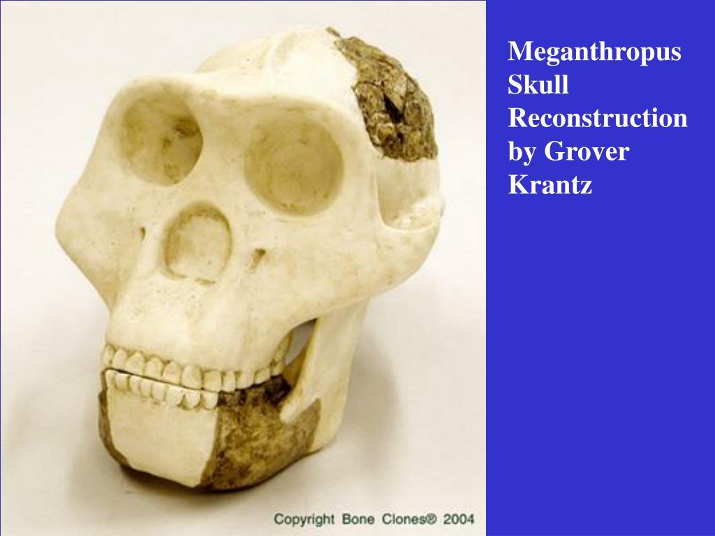 Meganthropus Skull Reconstruction by Grover Krantz