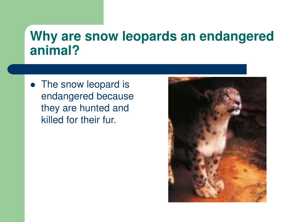 Why are snow leopards an endangered animal?