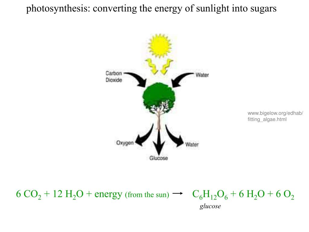 photosynthesis: converting the energy of sunlight into sugars
