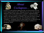 about cockapoos