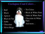 cockapoo coat colors