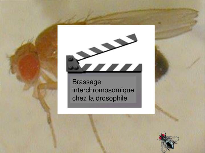 Brassage interchromosomique chez la drosophile