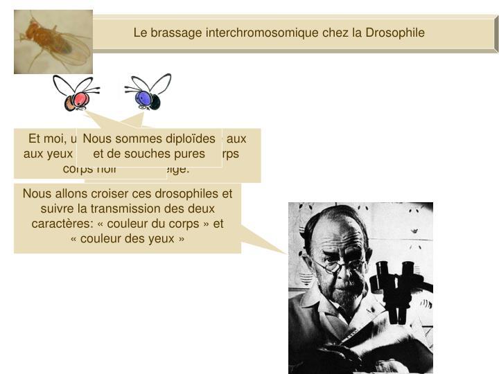 Le brassage interchromosomique chez la Drosophile