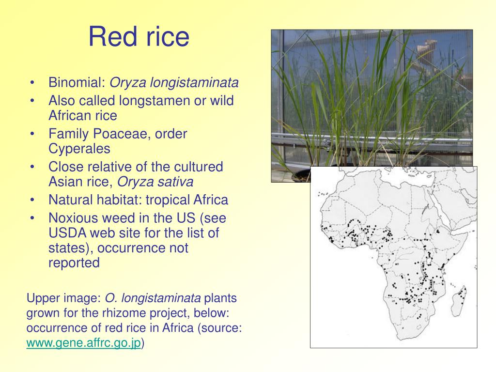 red rice l.
