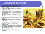goats and goat herd