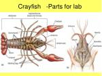 crayfish parts for lab