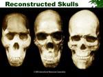 reconstructed skulls