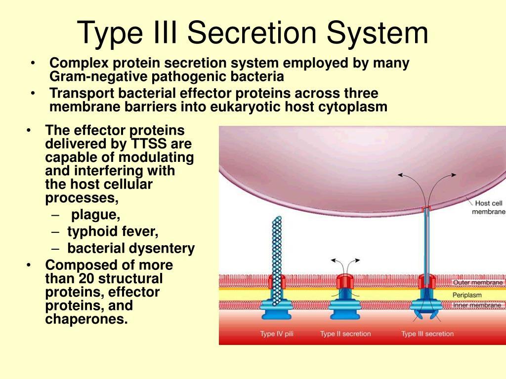 type iii secretion system l.