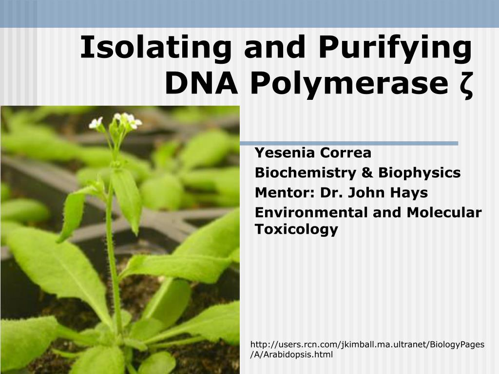 isolating and purifying dna polymerase l.