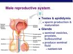 male reproductive system7