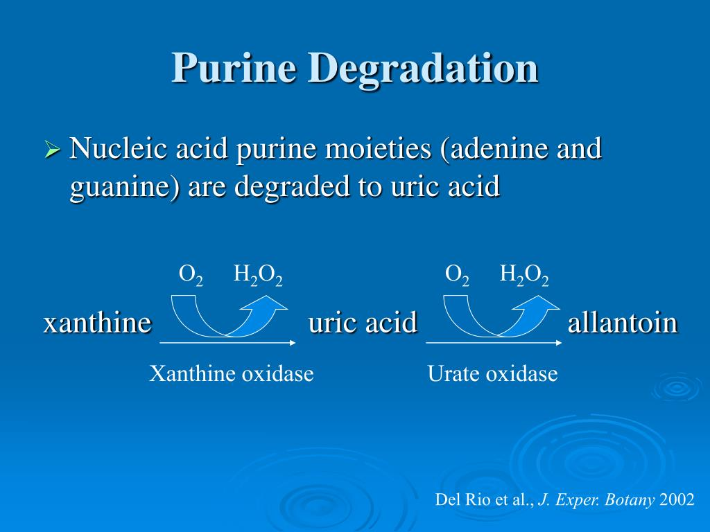 Purine Degradation