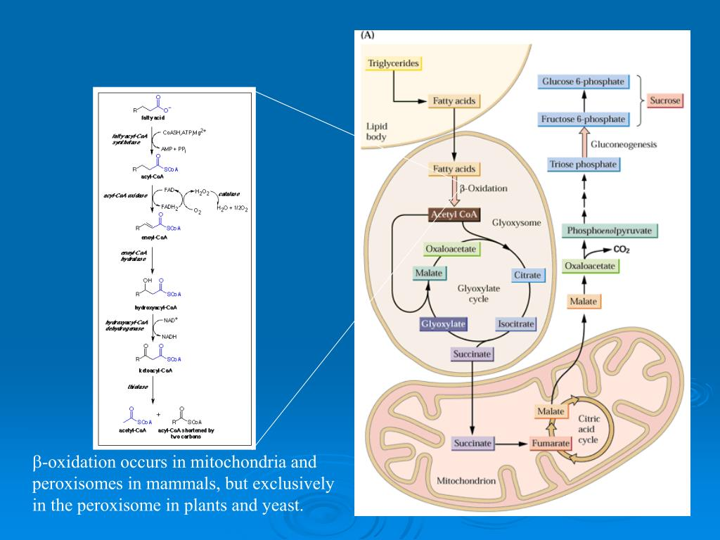 -oxidation occurs in mitochondria and peroxisomes in mammals, but exclusively in the peroxisome in plants and yeast.