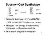 succinyl coa synthetase
