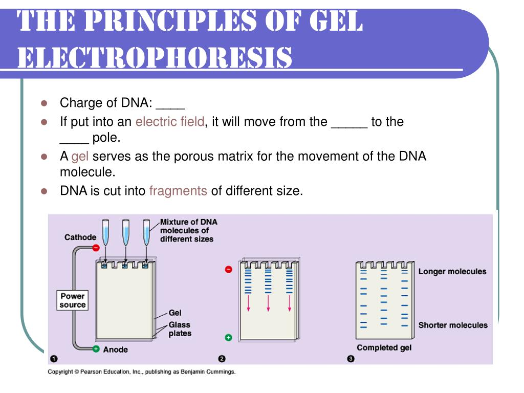 The Principles of Gel Electrophoresis