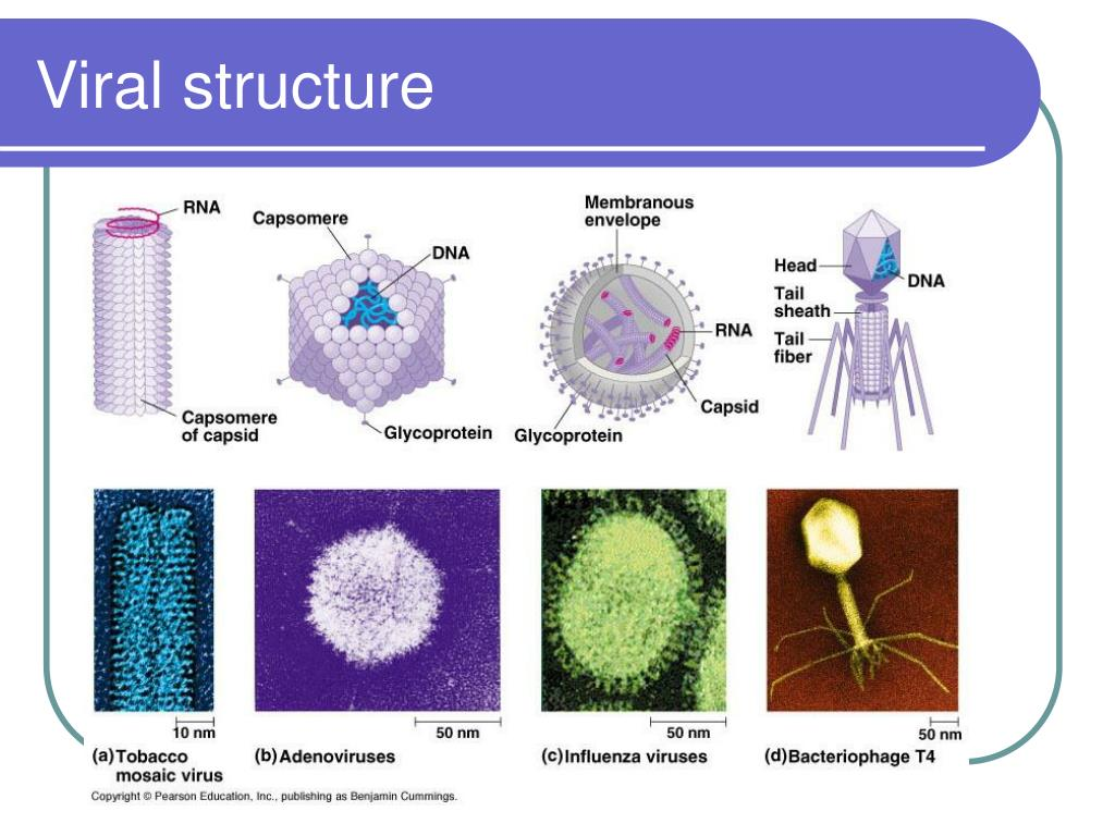 Viral structure