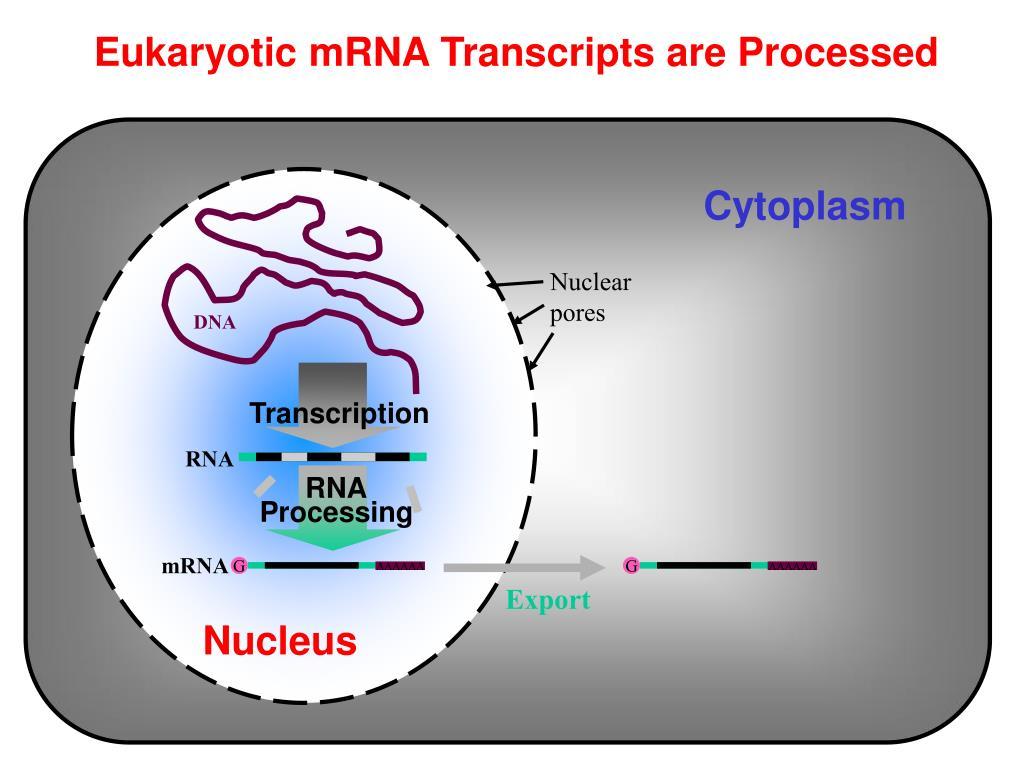 eukaryotic mrna transcripts are processed l.