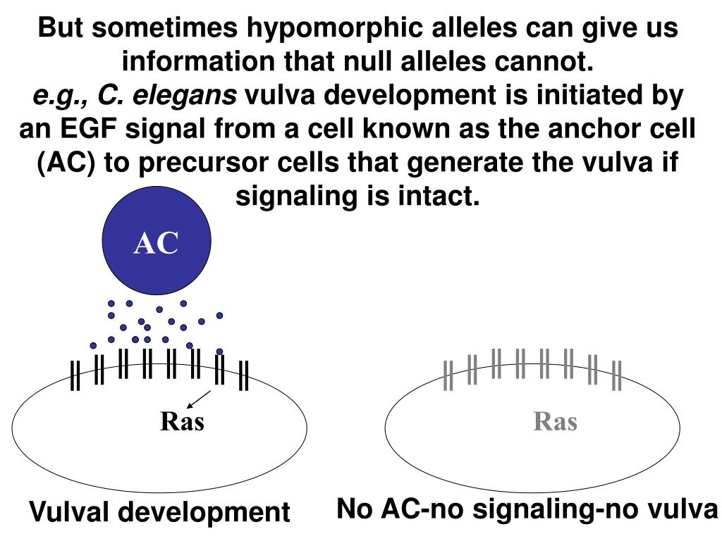 But sometimes hypomorphic alleles can give us information that null alleles cannot.