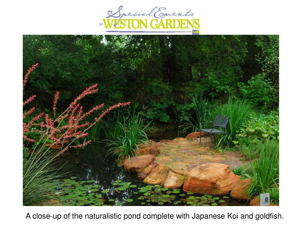 A close-up of the naturalistic pond complete with Japanese Koi and goldfish.