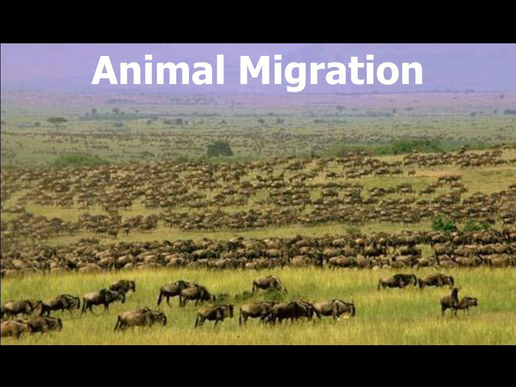 animal migration l.