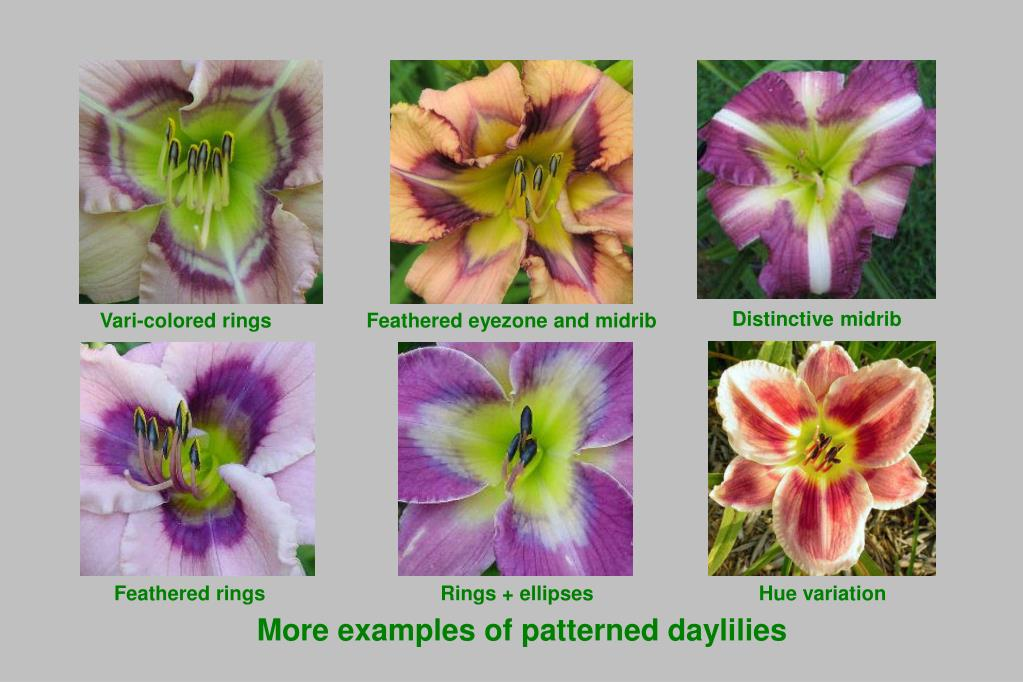 More examples of patterned daylilies