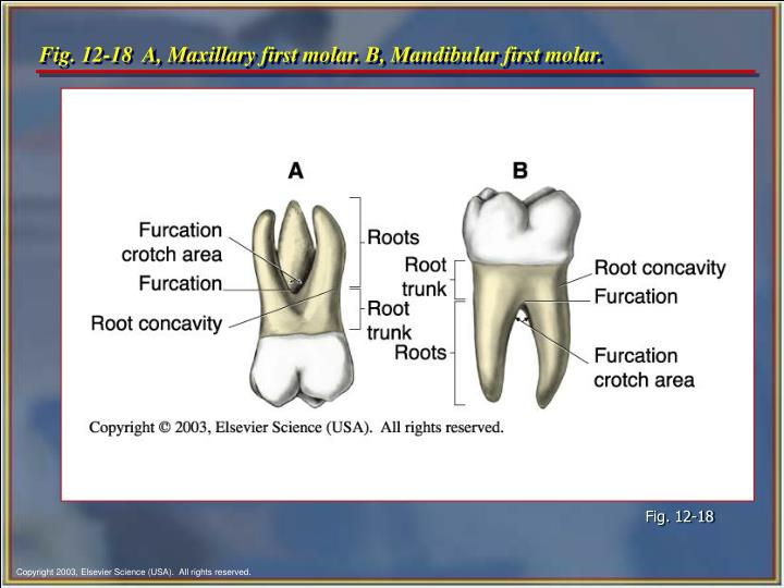 Ppt Chapter 12 Tooth Morphology Powerpoint Presentation Id218485