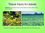 tissue injury to leaves58