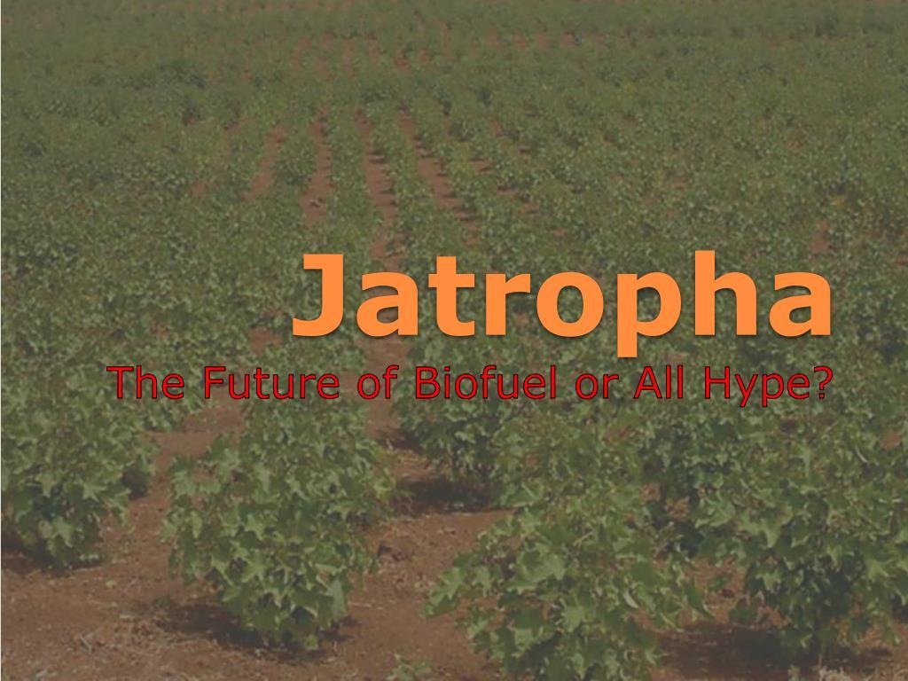 jatropha l.