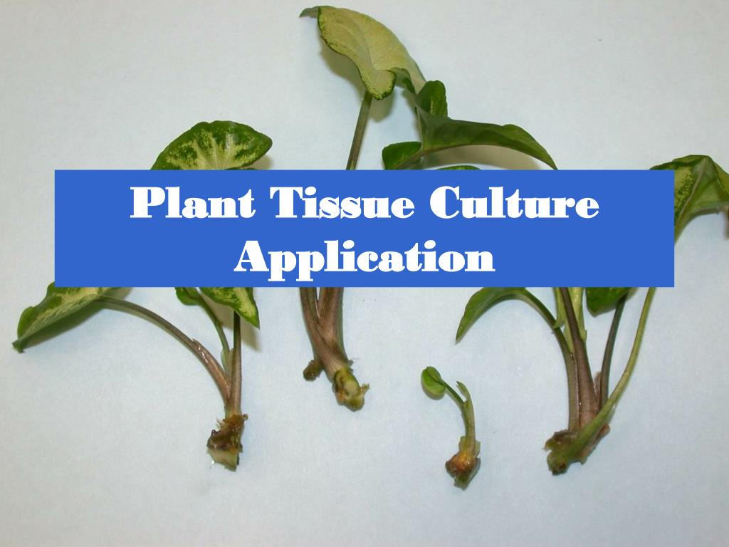 plant tissue culture application l.