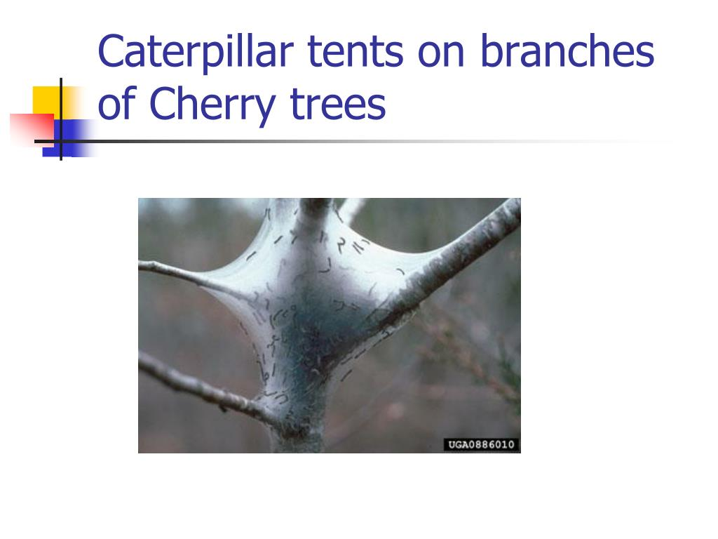Caterpillar tents on branches of Cherry trees