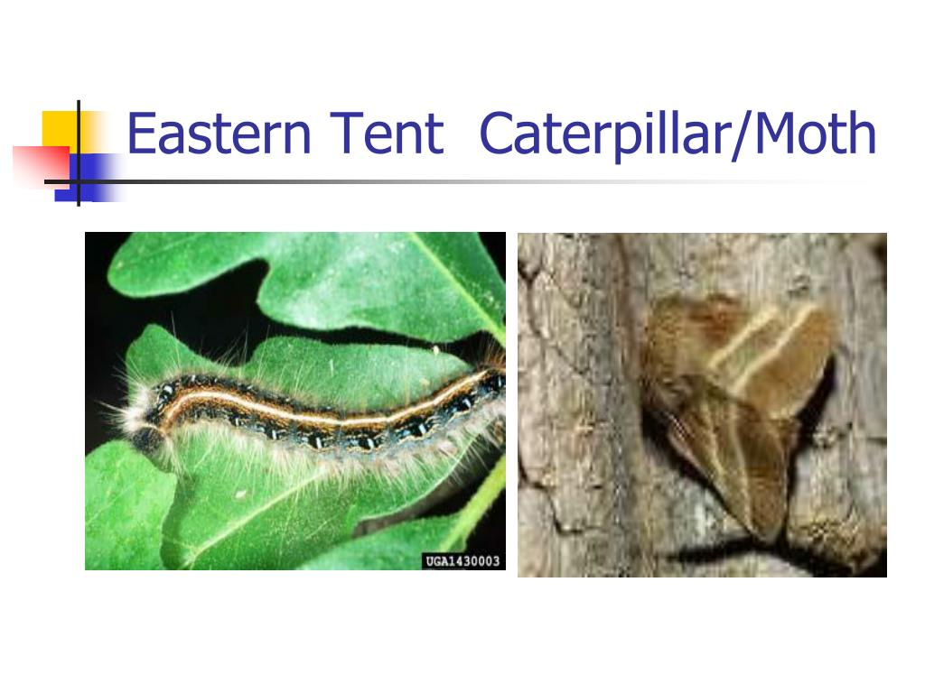 Eastern Tent  Caterpillar/Moth