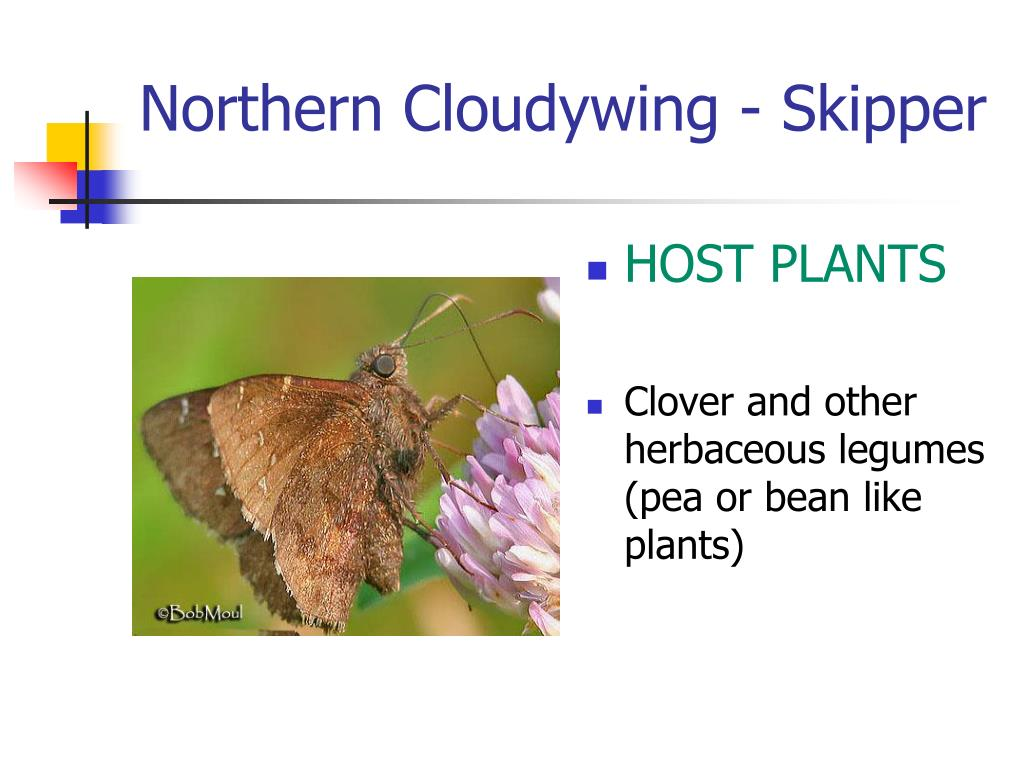 Northern Cloudywing - Skipper