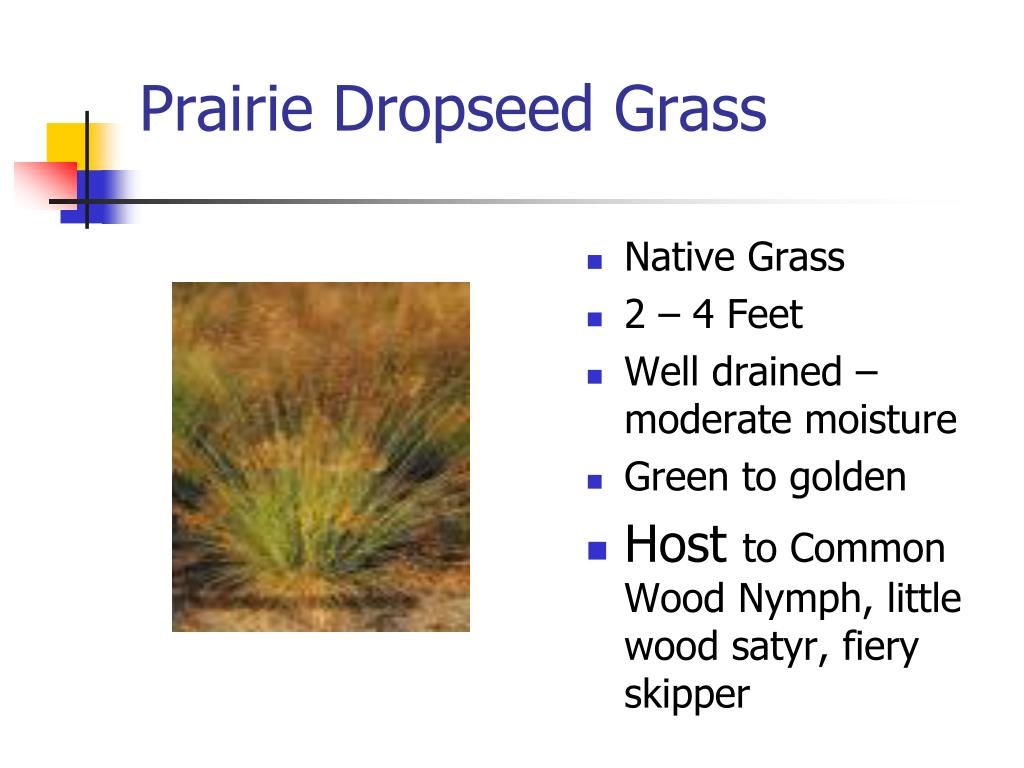 Prairie Dropseed Grass