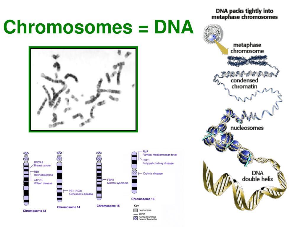 Chromosomes = DNA