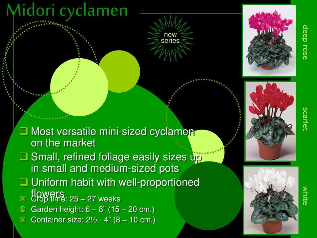 Most versatile mini-sized cyclamen