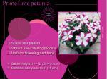 primetime petunia