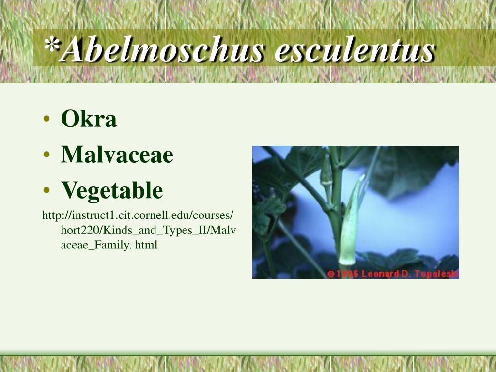 *Abelmoschus esculentus