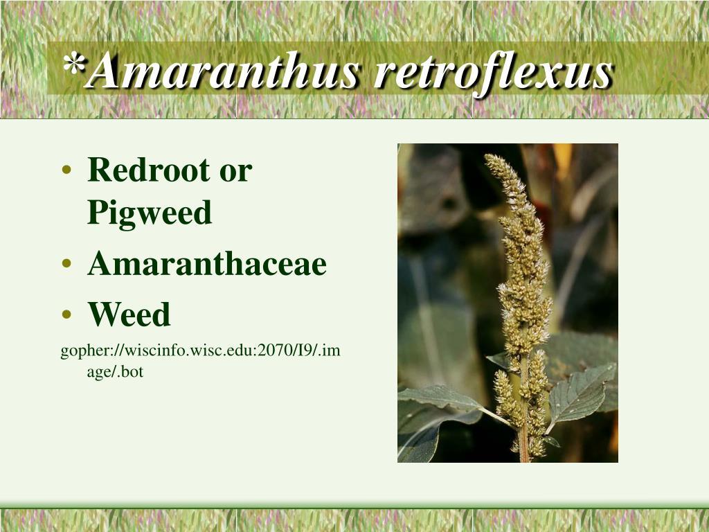 *Amaranthus retroflexus