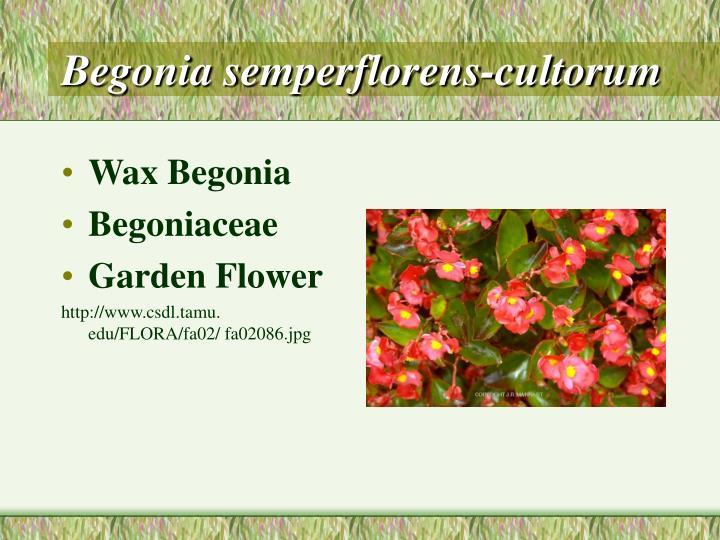 Begonia semperflorens cultorum