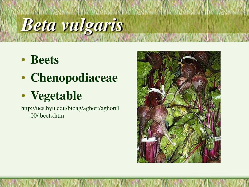 beta vulgaris l.