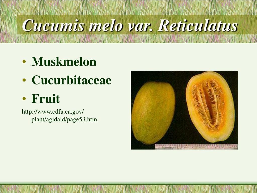 Cucumis melo var. Reticulatus