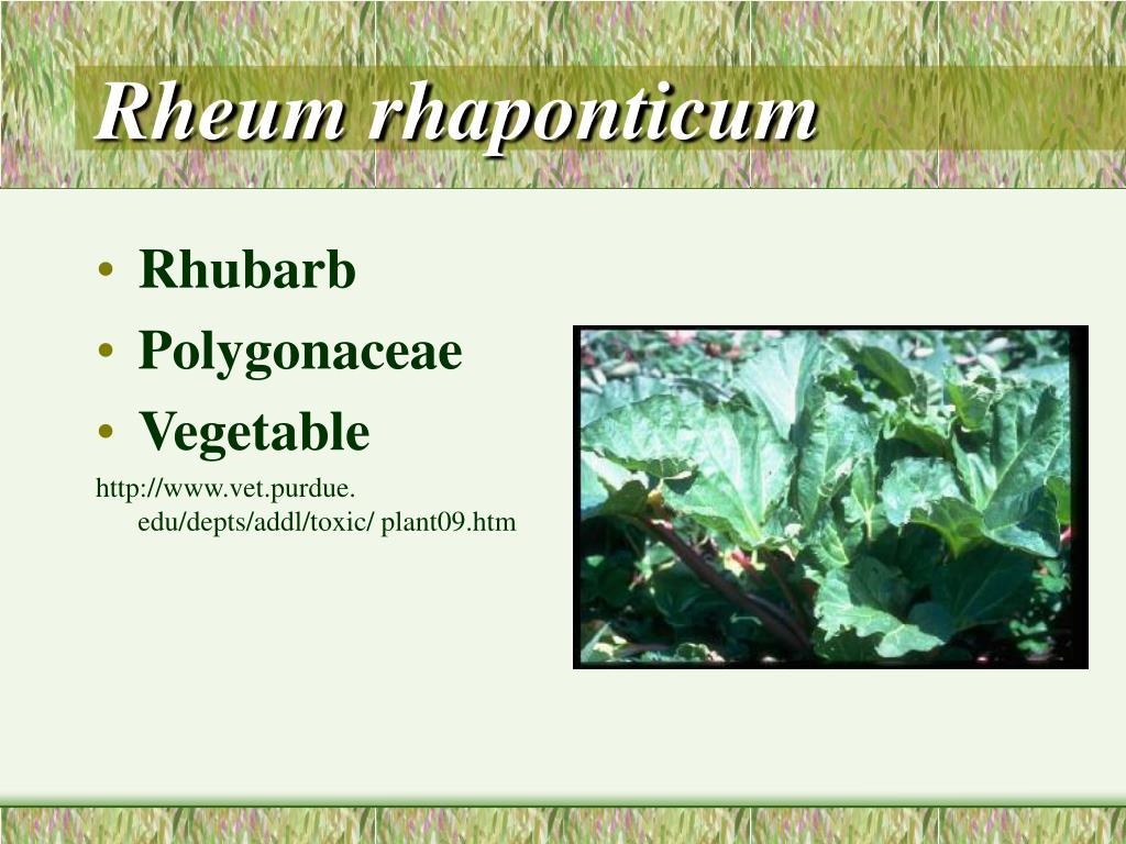 Rheum rhaponticum