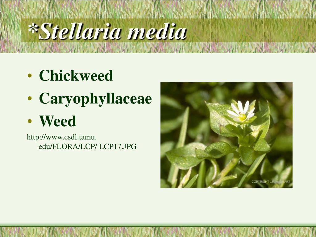 *Stellaria media