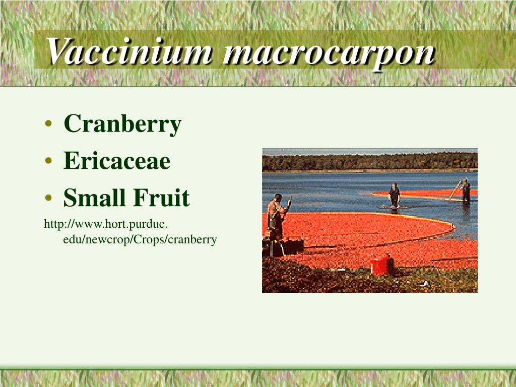 Vaccinium macrocarpon