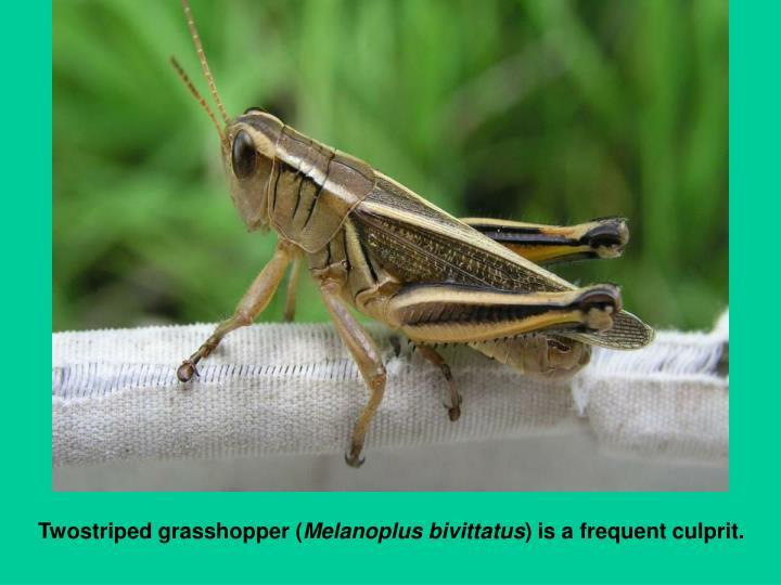 Twostriped grasshopper (