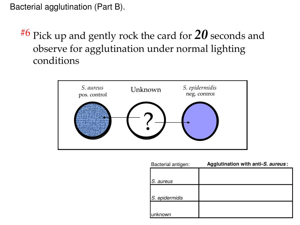 Bacterial agglutination (Part B).