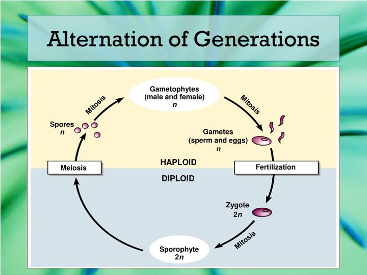 the alternation of generations in gametophytes Script: today we are going to talk about the concept of alternation of generations, with a focus on angiosperms, or flowering plants this is part 1 of a 5-p.